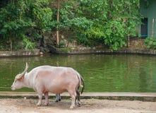 Таро буйвола, открытый зоопарк в Таиланде Стоковые Изображения RF