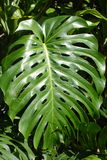 таро листьев Стоковые Фото