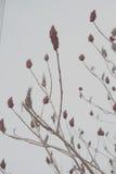 Творческие ягоды Sumac Стоковое Изображение RF