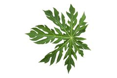 Творческий план сделанный из зеленых листьев, предпосылка природы, лист дерева папапайи стоковые изображения rf