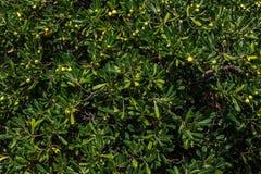 текстура абстрактных листьев зеленого цвета крупного плана предпосылки естественная предпосылка в реальном маштабе времени Стоковое Фото