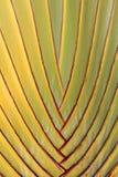 Текстура бананового дерева Стоковое фото RF