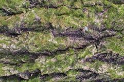 Текстура барка дерева сжалась с зеленым мхом стоковое фото