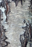 текстура березы расшивы старая Стоковые Фото
