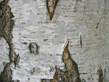 Текстура белого хобота дерева березы Стоковые Изображения RF