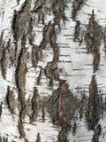 Текстура белой березы Стоковое Изображение