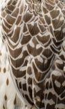 Текстура белых пер черноты witn сыча амбара Стоковая Фотография RF