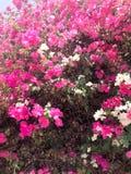 Текстура большого красивого сочного кустарника, экзотического тропического завода с белыми и фиолетовыми, розовыми цветками с чув стоковая фотография
