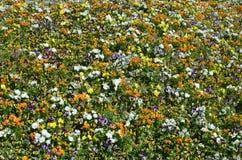 Текстура большое количество различных красочных цветков засаженных в цветке Стоковое Фото