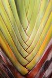 Текстура ветвей пальмы абстрактная (ладонь путешественников) Стоковое Фото