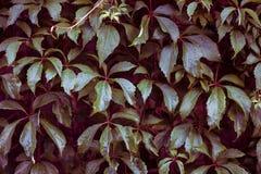 Текстура вьюнка Стена растительности Стоковое Изображение RF