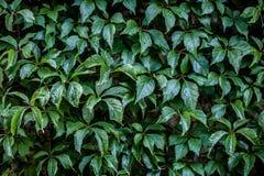 Текстура вьюнка Стена растительности Стоковое Фото