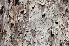 Текстура дерева Paperbark стоковые изображения rf