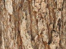 Текстура евкалипта Ironbark стоковое изображение