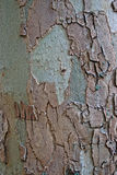 Текстура дерева березы Стоковое Изображение