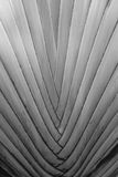 Текстура дерева путешественника в черно-белом Стоковое Фото