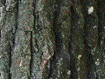 Текстура дерева с мхом Стоковые Изображения RF