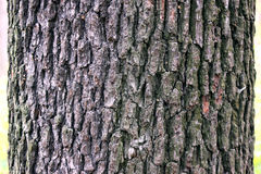 Текстура дерева Aspen Стоковые Изображения RF
