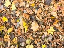 Текстура желтой и красного цвета, коричневые красочные естественные упаденные листья осени различные зелень gentile предпосылки а стоковые изображения rf