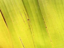 Текстура желтых лист банана (старые лист банана) Стоковое фото RF