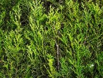 Текстура живой изгороди Стоковые Фотографии RF
