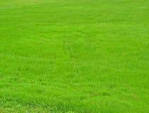 текстура зеленого цвета травы Стоковая Фотография RF