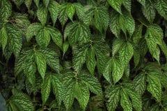 Текстура зеленых листьев виноградины Стоковая Фотография RF