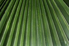 Текстура зеленых лист ладони Стоковое Изображение