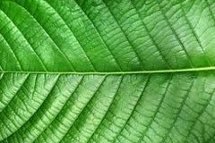 Текстура зеленых лист типа завода Magnoliopsida для предпосылки Стоковые Изображения