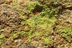 Текстура зеленого мха на камне Стоковые Фотографии RF