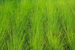 текстура зеленого цвета травы Стоковая Фотография