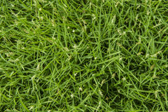 Текстура зеленой травы безшовная Стоковое Изображение RF