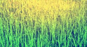 Текстура зеленой травы в восходе солнца, предпосылке природы стоковое изображение rf
