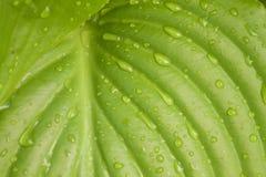 Текстура зеленых влажных лист как предпосылка Стоковая Фотография RF