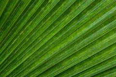 Текстура зеленых листьев ладони Стоковые Фотографии RF