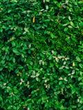 Текстура зеленых листьев Полный охват рамки Естественное tex Стоковые Фото