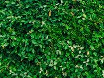 Текстура зеленых листьев Полный охват рамки Естественное tex Стоковое Фото