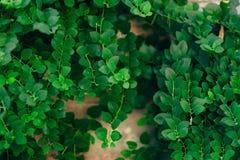 Текстура зеленых листьев Полный охват рамки Естественное tex Стоковые Изображения