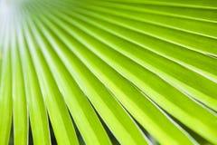 Текстура зеленых лист ладони Стоковые Фотографии RF
