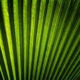 Текстура зеленых лист ладони Стоковые Изображения