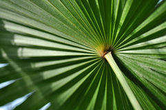Текстура зеленых лист ладони Стоковые Фото