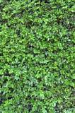 текстура изгороди предпосылки зеленая Стоковая Фотография RF