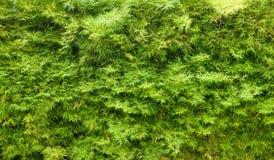 текстура изгороди предпосылки зеленая Стоковые Фотографии RF
