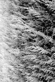 Текстура изгороди Leylandii крупного плана Стоковые Фотографии RF