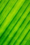 Текстура, линии, картина лист банана Стоковые Изображения