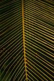 Текстура листьев ладони Стоковое Изображение