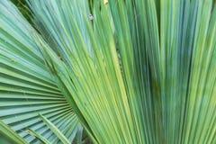 Текстура лист ладони как естественная предпосылка Стоковая Фотография RF
