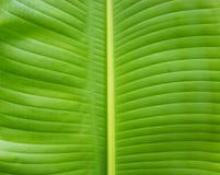 Текстура лист банана Стоковое фото RF