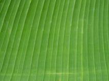 Текстура лист банана Стоковое Изображение