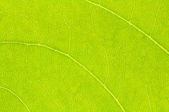 Текстура лист или предпосылка лист Стоковая Фотография